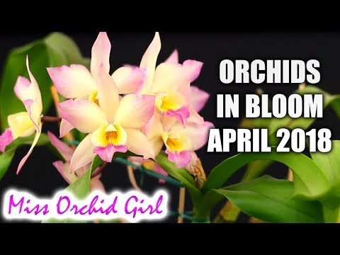 Orchids in bloom - April 2018 | It will be hard to chose just one!
