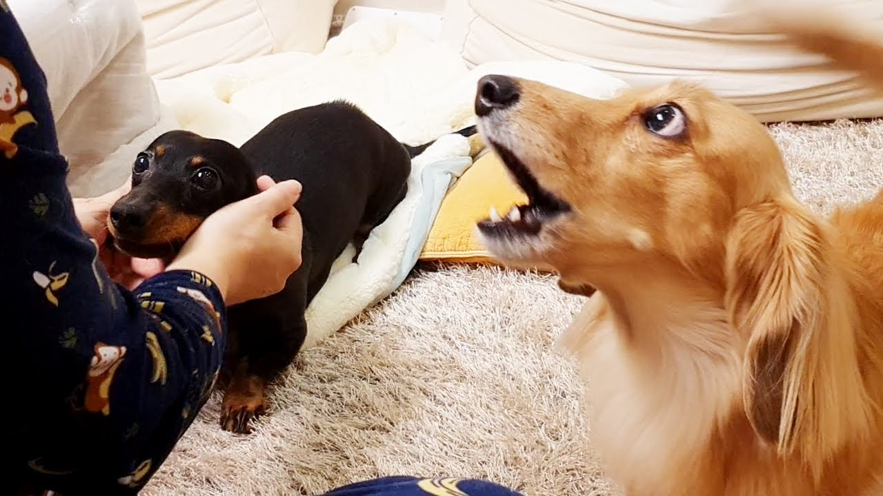 세상에서 가장 질투가 많은 닥스훈트 강아지 렉스