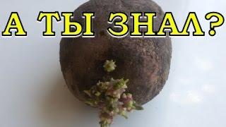 видео Один из способов проращивания клубней картофеля.