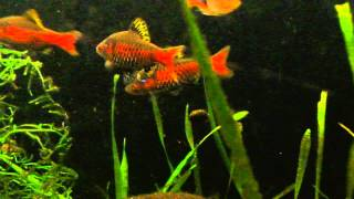 Cover images male Odessa Barbs