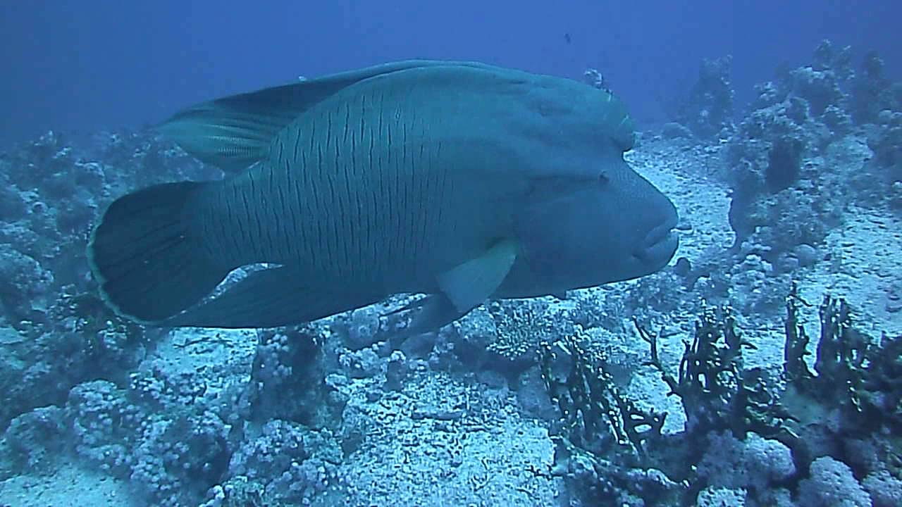 Big napoleon fish in the red sea youtube for Big fish in the ocean