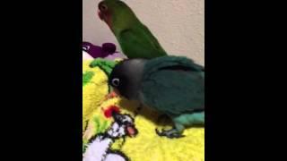 Bleu & Kawai lovebird