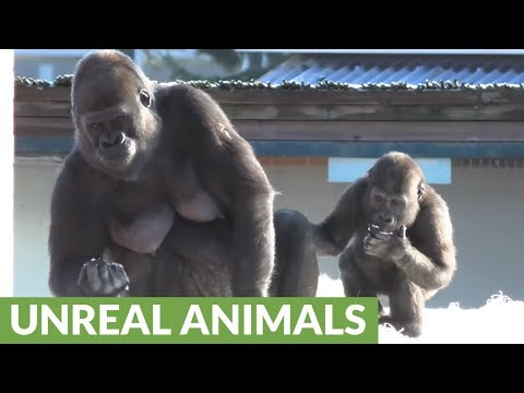 Gorilla youngster beats chest at mom, instantly regrets it