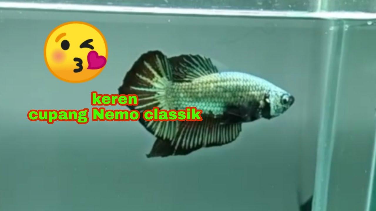 Cupang Nemo Classic Keren Abiiis Ikancupangnemoclassik Fyp Fishing Cupangnemo Youtube