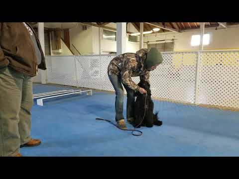 Portuguese Water Dog learning the stand command