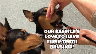 Our Basenji's love to have their teeth brushed!