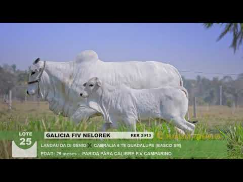 Lote 25 Galicia FIV Nelorek