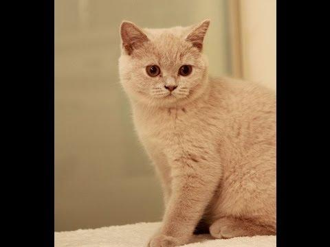 Liliowy Torrance Z Myszką Koty Brytyjskie British Shorthair