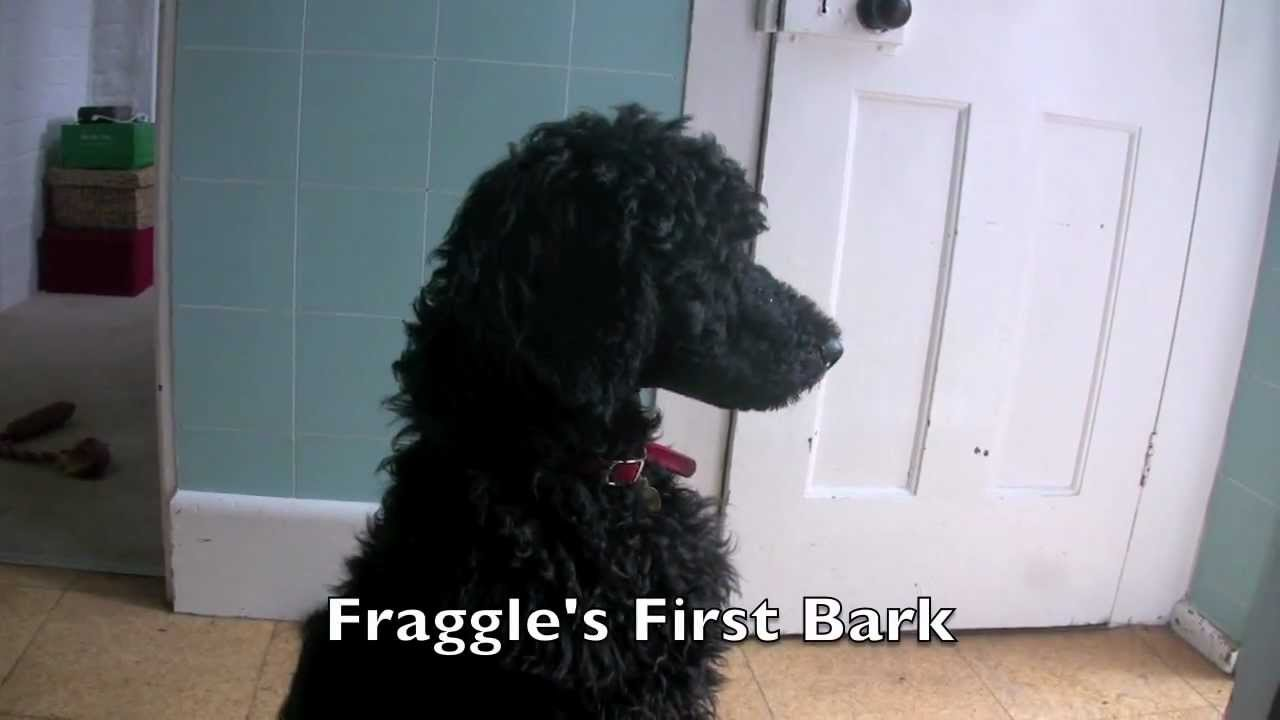 Fraggle the Standard Poodle Puppy at 12 Weeks Old