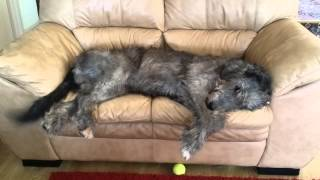 A Happy Wolfhound