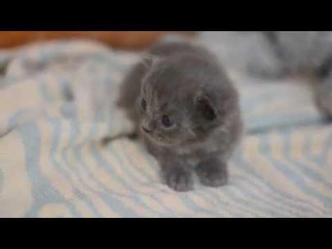 Дымчатые грёзы о кошке нибелунг