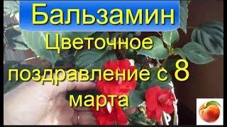 Бальзамин Выращивание  Уход Impatiens Разведение Ванька мокрый недотрога цветы в саду