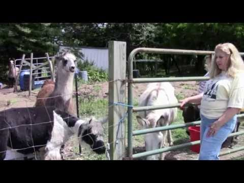 Back to Nature- Shearing Llamas & Alpacas