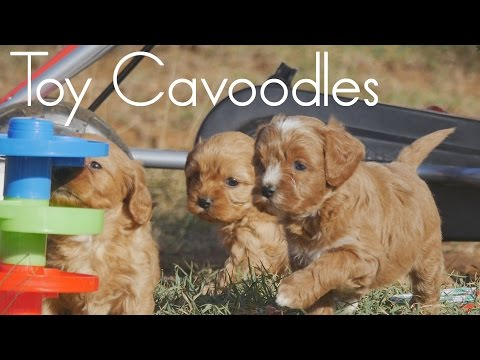 Kids playing with their Cavoodle puppies
