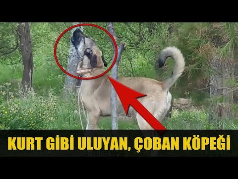 #KANGAL TV TANRI DAĞLARINDA ULUYAN BİR ULU KURT AFRiN   ANATOLiAN SHEPHERD DOG #AFRiN