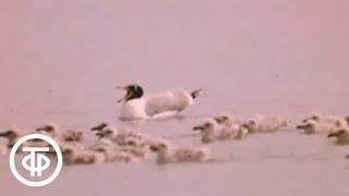 Острова белых птиц. По островам озера Алаколь (1979)
