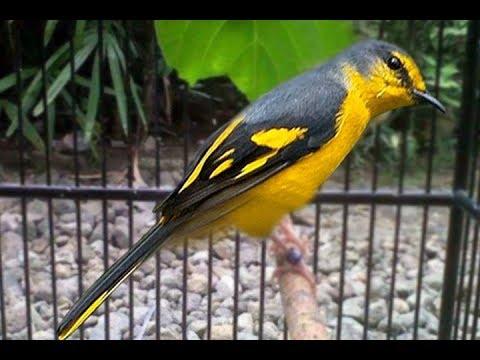 Burung Sepah Hutan Gacor Suara Masteran