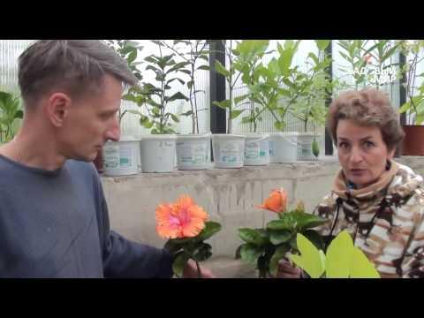 Садовый гибискус – посадка и размножение, фото гибискуса