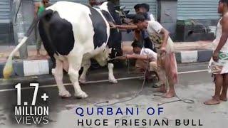 18|Giant Austal Qurbani video 2018 | Exclusive |Dhaka Cow Mania
