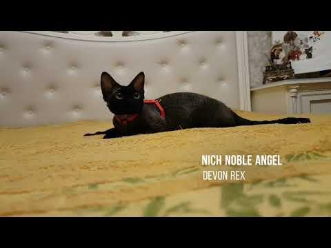 Devon rex cat.  Nich Noble Angel