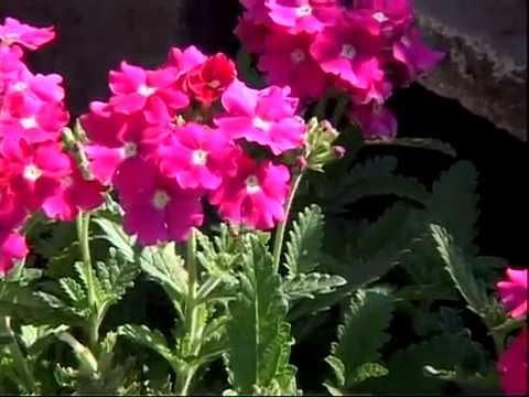 Beautiful Flowering Flower in Terrace Garden