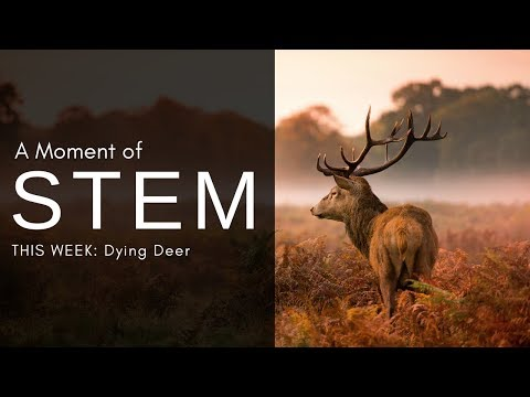 A Moment Of STEM: Dying Deer