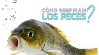 ¿Cómo respiran los peces? 🐟