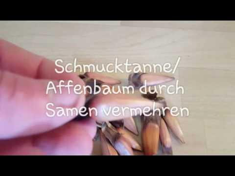 Schmucktanne/Affenbaum (Araucaria araucana) durch Samen leicht vermehren