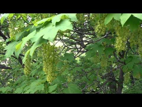 Racimos de flores de Sicomoro: Acer pseudoplatanus (www.riomoros.com)