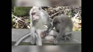 En komik maymun videosu