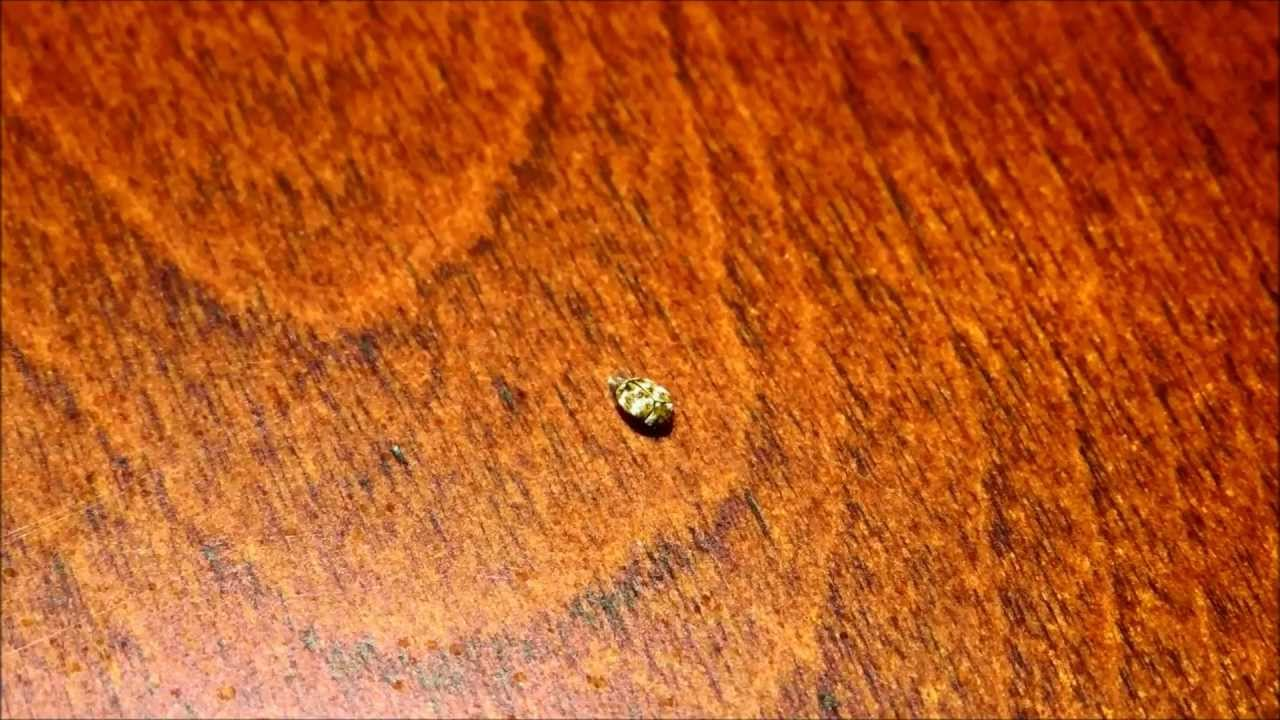Can Varied Carpet Beetles Bite Humans | Carpet Review