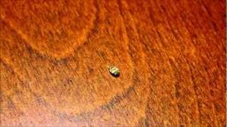 Varied Carpet Beetle, Anthrenus verbasci, Your Home