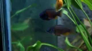 A wonderful cichlids tank of pantho sadik :) (Bangladesh Aquarists)