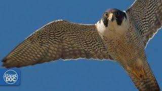 Falcon  Deadly Hunter