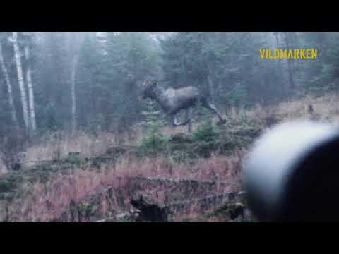 Moose Shot With Norma Tipstrike 7 Mm Rem Mag