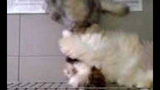 Shih Tzu And Schnauzer Playing