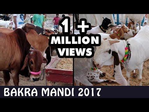 BAKRA MANDI   COW MANDI   Karachi 2017 Lalukhet   Video in URDU/HINDI