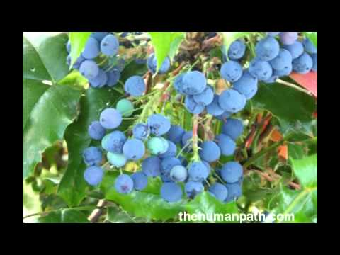 Practical Herbal Uses of Oregon Grape and Algerita - Extraordinary Medicinal Plants!