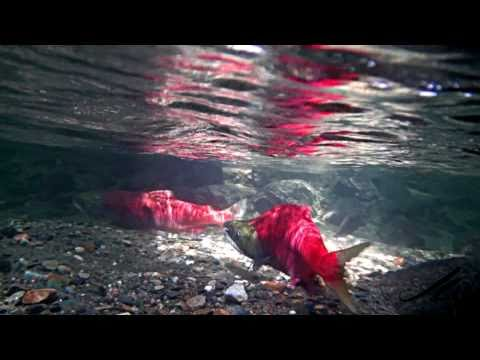 Pacific Sockeye Salmon - Nature Unleashed Underwater