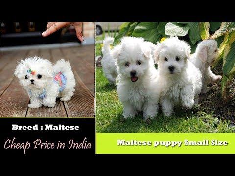 Toy Breed | Maltese puppies for sale in India - Best Price | Galiff street pet market Pet shop Delhi