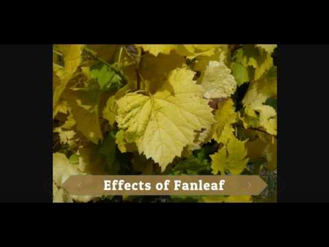 Grapes Disease Control
