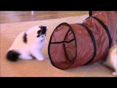 Persian kittens playing in cat tunnel