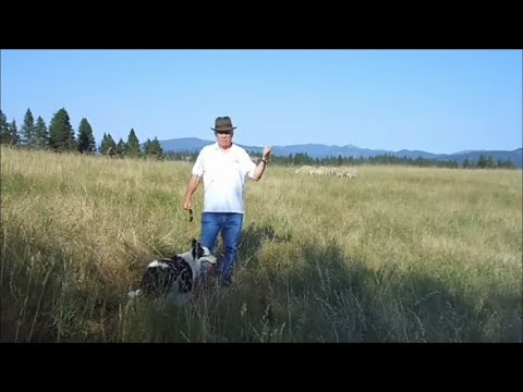 How to Fetch Sheep from Corner Demo -- Exhaust Hold Pen -- Pull Stock off Gate/Fence -- Herding Dog