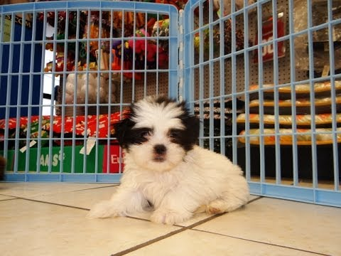 Shih Tzu Puppies Dogs For Sale In Tucson Arizona Az