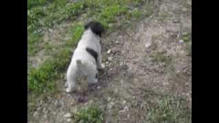 Fox Terrier De Vanzare