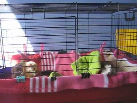 Introducing Guinea pigs to each other: Stopping fighting
