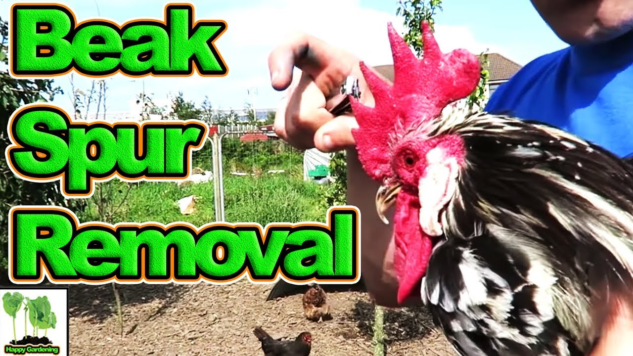 Keeping Backyard Chickens Safe And Healthy By Trimming Beaks And Removing  Spurs