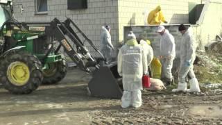 Utylizacja 300 sztuk zdrowych świń w Bukowicach Kolonii