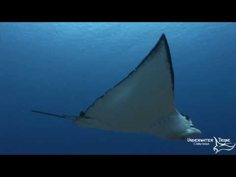 Encounter with Eagle Ray