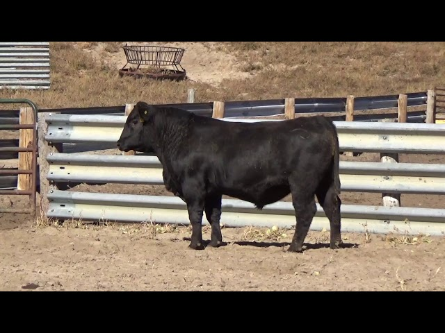 Connealy Angus Lot 169
